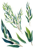 Set of Watercolor Eucalyptus Willow Green Leaves and Branches Isolated on White Background