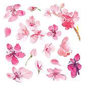 Set of watercolor sakura flower. Cherry flower.
