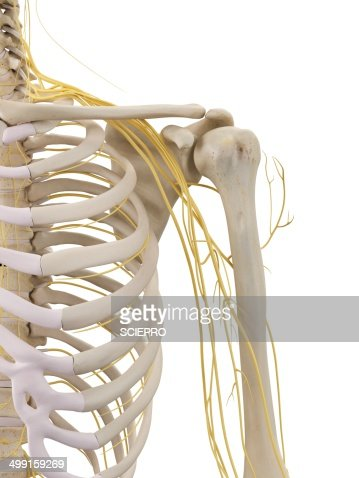 shoulder bones and nerves artwork stock illustration | getty images, Cephalic Vein