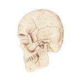 Side profile view of human skull on a white background