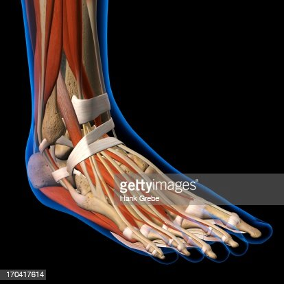 side view xray of female ankle and foot bones muscles and, Skeleton