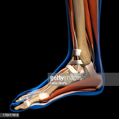 xray view of inflamed foot bones stock illustration | getty images, Skeleton