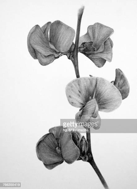 Soybean flower pencil drawing