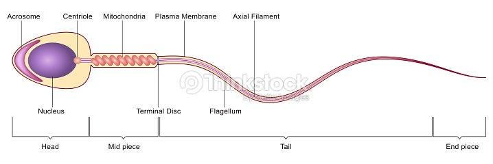 Sperm Cell Anatomy Stock Illustration Thinkstock
