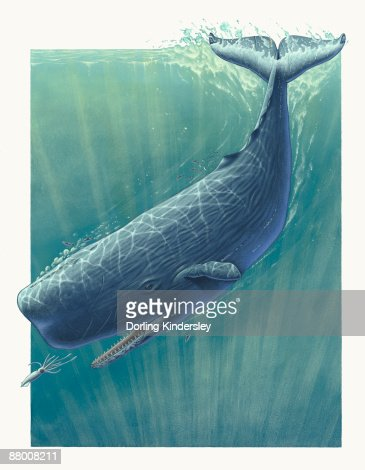 Sperm whale illustrations