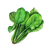 Spinach. Isolated on a white background. Watercolor illustration.