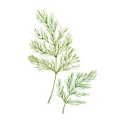 Sprig of dill , watercolor illustration  on white background