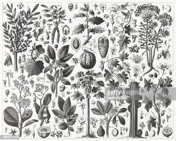 Spurge and Gourd Family Engraving