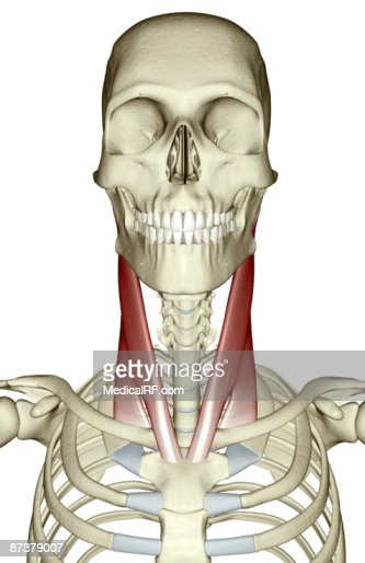 sternocleidomastoid muscle stock illustration | getty images, Human Body