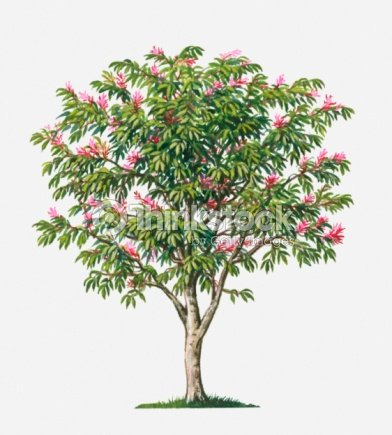 Surinam quassia tree with small pink flowers and green for Pink small tree