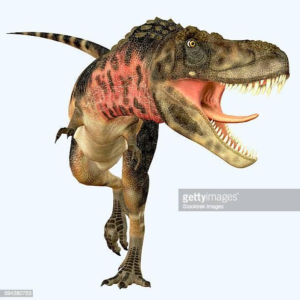 Tarbosaurus dinosaur roaring, front view.