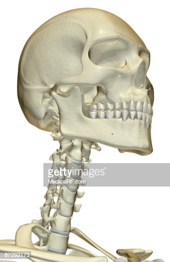 the bones of the head and neck stock illustration | getty images, Skeleton