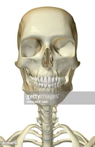 Human Jaw Bone Stock Illustrations And Cartoons | Getty Images