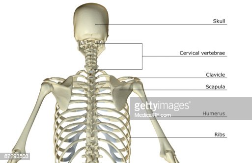 the bones of the upper body stock illustration | getty images, Skeleton