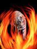 The flame and Bengal tiger which burn