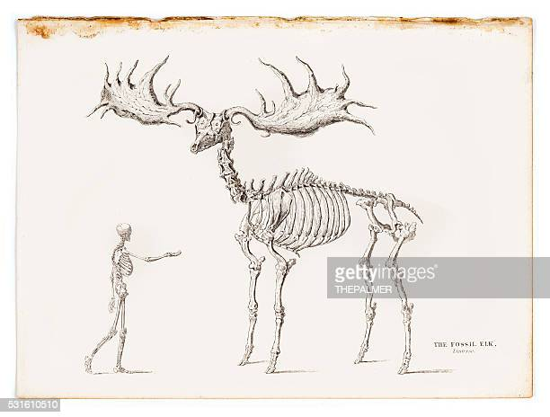 The fossil elk engraving 1855