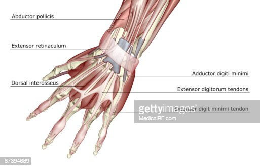the muscles of the hand stock illustration | getty images, Cephalic vein