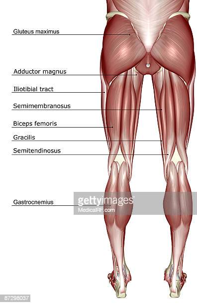 the muscles of the lower body stock illustration | getty images, Cephalic Vein