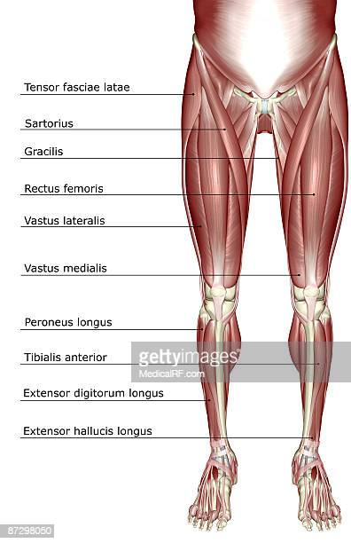 the muscles of the lower body stock illustration | getty images, Muscles