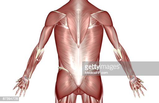 The muscles of the trunk : Stock Illustration