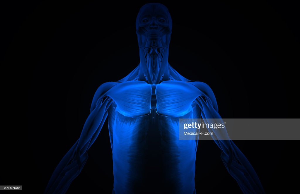 The Muscles Of The Upper Body Stock Illustration | Getty Images