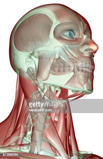 facial muscles of the human face stock illustration | getty images, Human Body