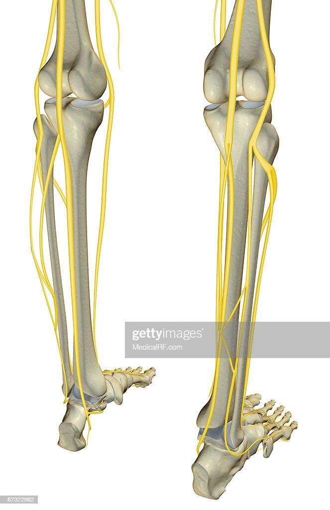 Leg Nerves 18