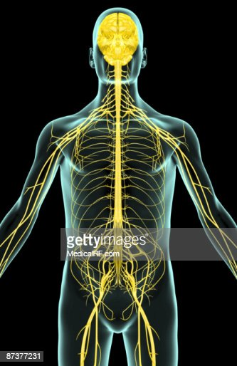 The Nerves Of The Upper Body Stock Illustration