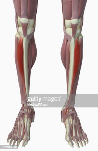 tibialis anterior stock illustration | getty images, Human Body