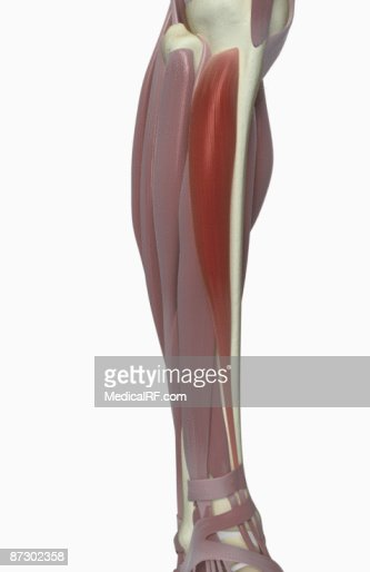 Tibialis Anterior Stock-Illustration | Getty Images
