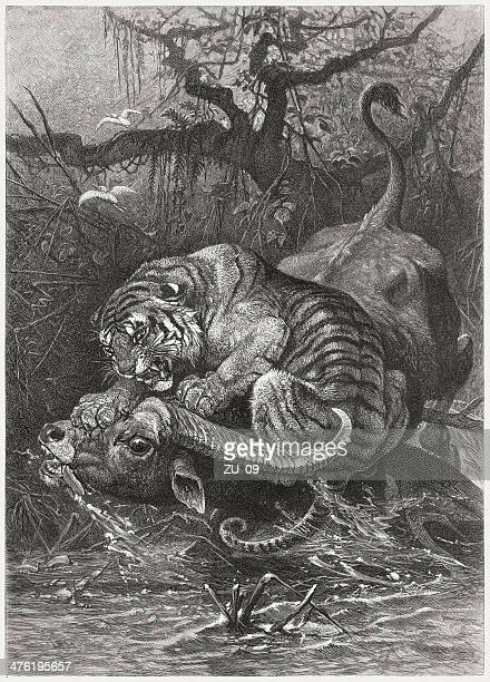 Tiger attacks a water buffalo, wood engraving, published in 1883