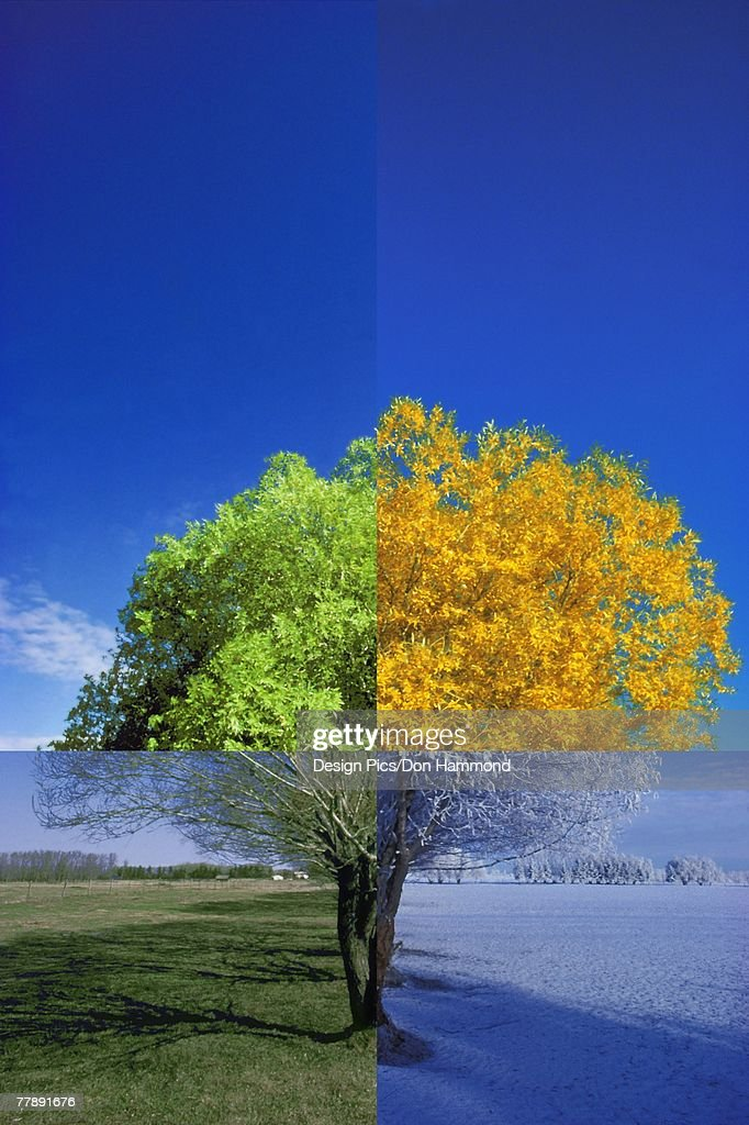 Tree in the four seasons : Stock Illustration
