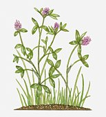 Trifolium pratense (Red Clover) with dark pink flowers and green leaves on tall stems