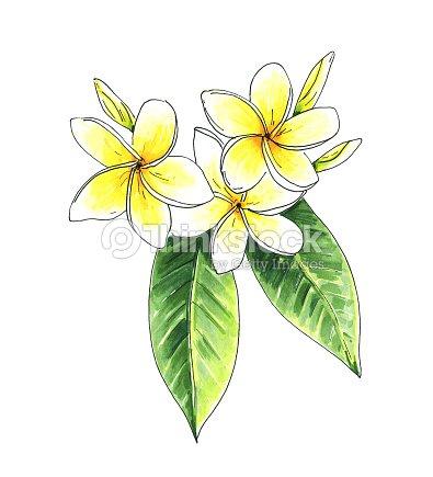 Flores Tropicales El Restaurante Frangipani Plumeria Ilustracion De