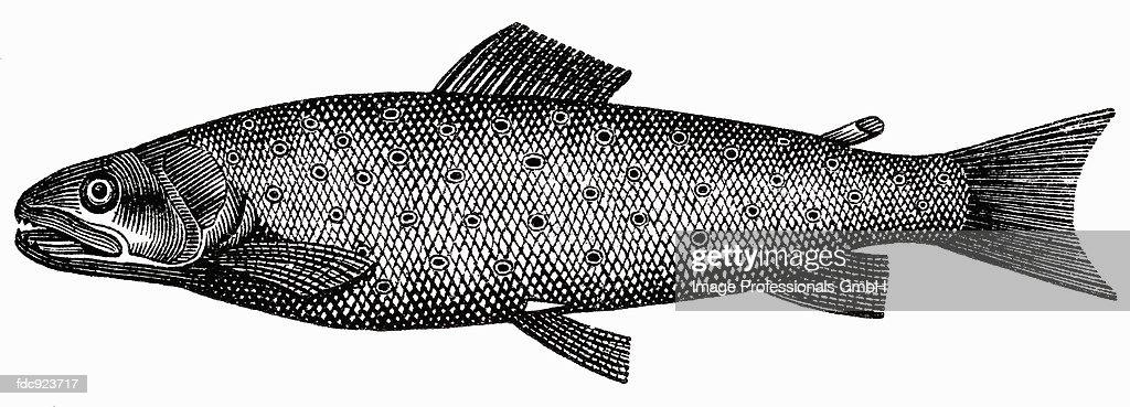 Trout (illustration) : Stock Illustration