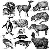 """Typical animals of South America - anaconda, leopard, puma, penguin, turtle, condor, penguin, tapir, chameleon, anteater etc. Illustrations published in Systematischer Bilder-Atlas zum Conversations-"