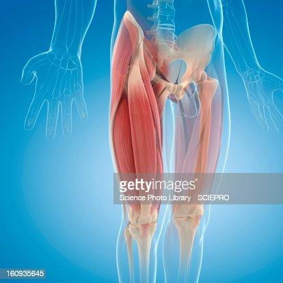 Upper leg muscles, artwork : Stock Illustration