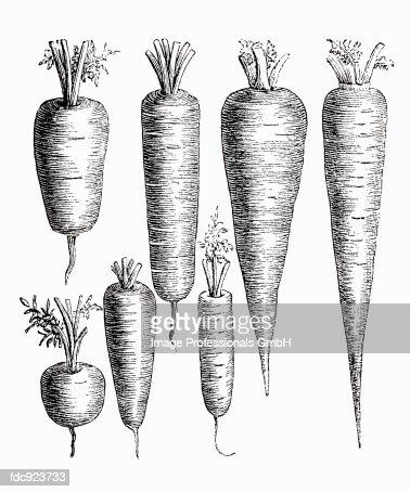 Various types of carrot (illustration) : Stock Illustration