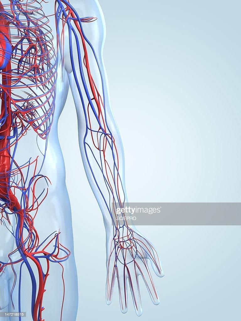 Vascular system, artwork : Stock Illustration