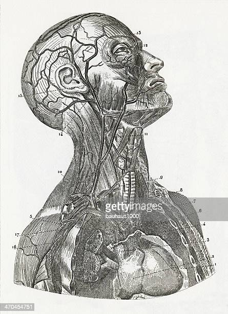 Vascular System Engraving