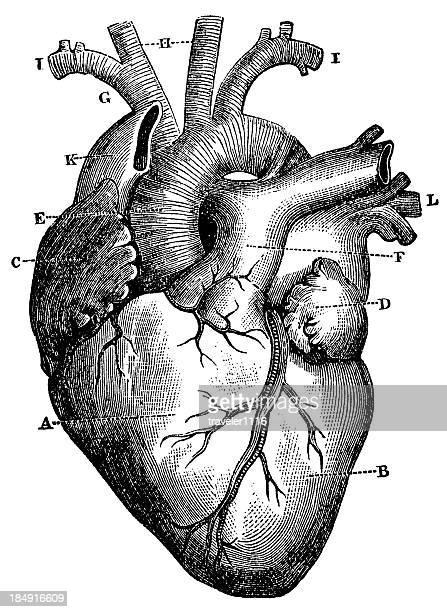 XXXL très détaillée Coeur humain