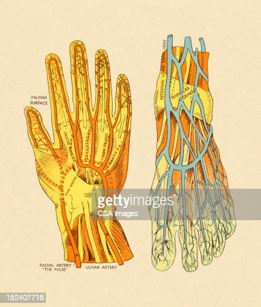 Vessels and Arteries of Hand and Foot : Stock Illustration