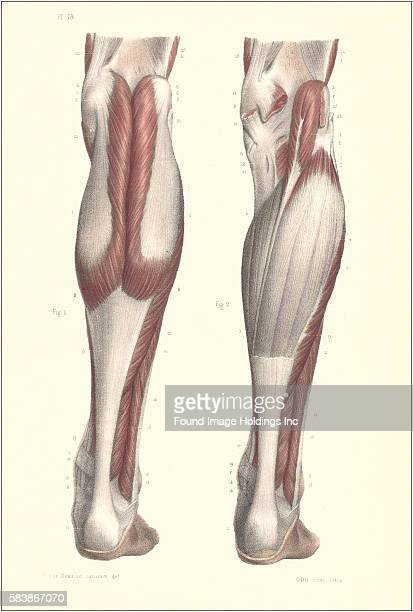 Lower Leg Muscle Anatomy Stock Photos And Pictures Getty Images