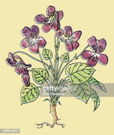 Violets : Ilustração de stock