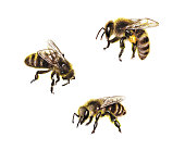 Hand drawn insects isolated on white background. Set of watercolor honeybees.