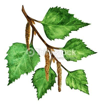 aquarelle branche de bouleau avec feuilles vertes catkins illustration thinkstock. Black Bedroom Furniture Sets. Home Design Ideas