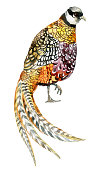 Watercolor colorful Reeves pheasant with long tail. Farm bird isolated on white background. Hand painted illustration
