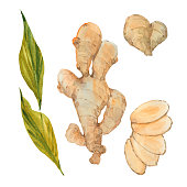 ginger root, watercolor illustration  on white background