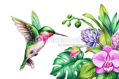 Ilustración Acuarela Naturaleza Exótica Vuelo De Colibrí Flores De ...