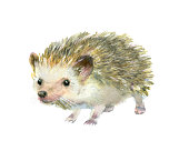 Watercolor painting. Cute hedgehog on white background.